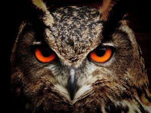 Great Horned Owl with Orange Eyes