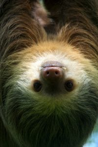 Sloth positioned vertically