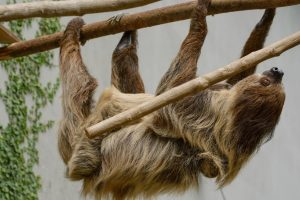 Photo of sloth climbing on branch