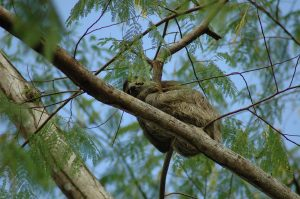 Sloth hugging a branch of a tree