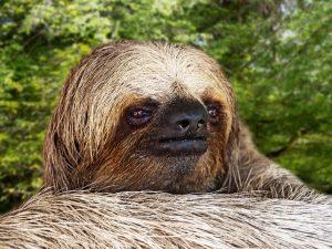 Closer photo of a Sloth